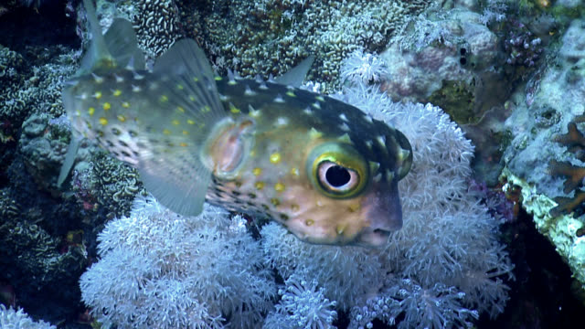 red sea porcupine fish - balloonfish stock videos and b-roll footage