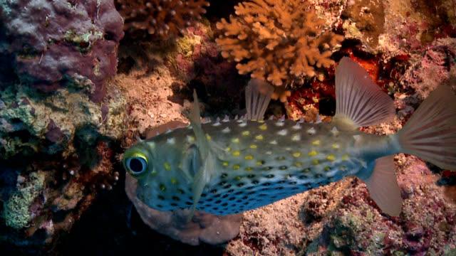 Red Sea Porcupine fish