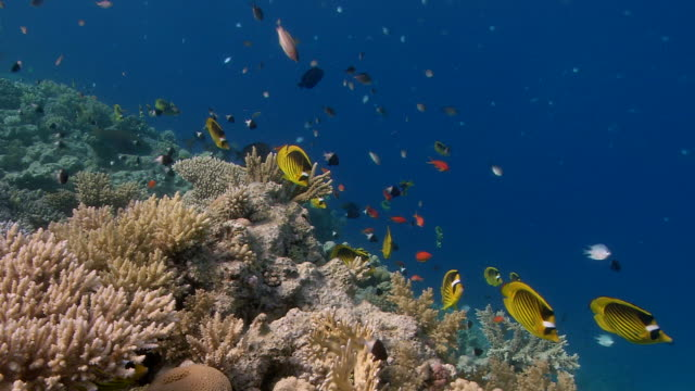 red sea raccoon butterflyfish (chaetodon fasciatus) over a coral reef. this fish is normally solitary or found in pairs. this group is possibly a prelude to spawning activity. filmed in the gulf of aden, red sea - aden stock videos & royalty-free footage