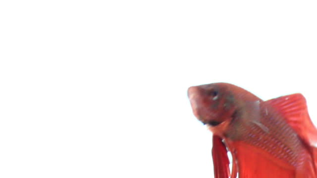 red siamese fighting fish - pampered pets stock videos and b-roll footage