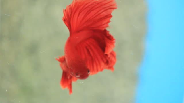 vídeos de stock, filmes e b-roll de peixe-lutador-siamês vermelho. - bichos mimados