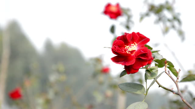 red single flower - single rose stock videos & royalty-free footage