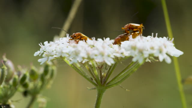 red soldier beetles mate and feed on white flowers - wildflower stock videos & royalty-free footage