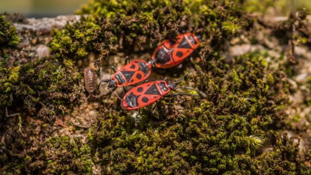 Rot Soldaten Bugs-Pyrrhocoris apterus