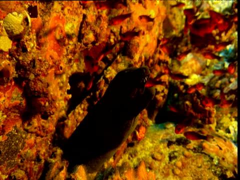Red soldierfish dart around head of Moray eel, Cocos Island, Costa Rica