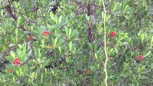 red sonneratia caseolaris flower on tree - pistil stock videos & royalty-free footage