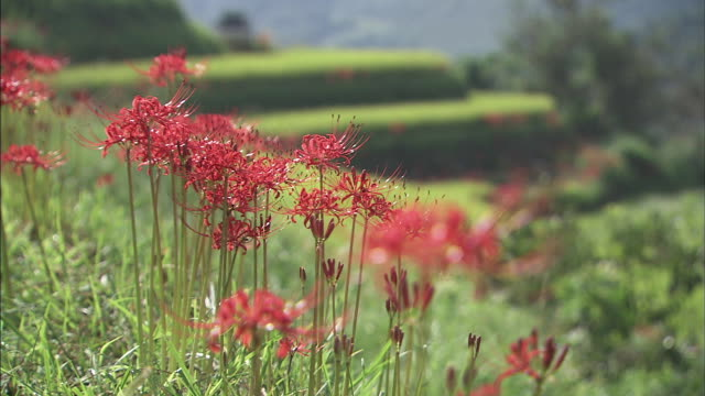 vídeos de stock, filmes e b-roll de red spider lilies and terrace paddy fields  ms   background scenery fading out exscept for a piece of flower  (fo) - estame