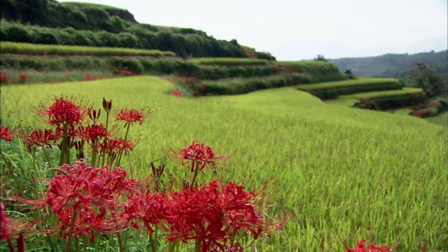 vídeos y material grabado en eventos de stock de red spider lilies and terrace paddy fieleds   middle long - hymenocallis caribaea