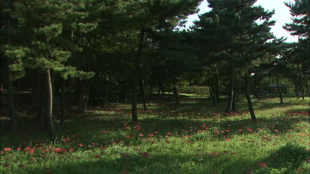 vídeos y material grabado en eventos de stock de red spider lilies bloom in a shady grove. - hymenocallis caribaea