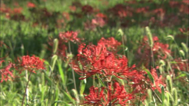 vídeos y material grabado en eventos de stock de red spider lilies sway in a breeze. - hymenocallis caribaea