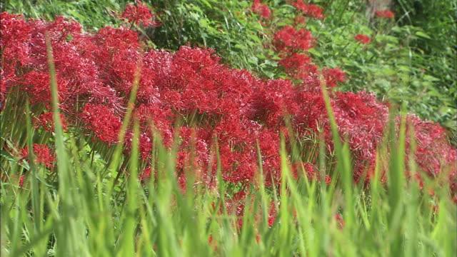 vídeos y material grabado en eventos de stock de red spider lilies   ms   tilt down   rice ears   up - hymenocallis caribaea