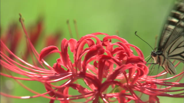 red spider lilies   up   pan left to right   butterflies sucking nectar from the flowers - spider lily stock videos and b-roll footage