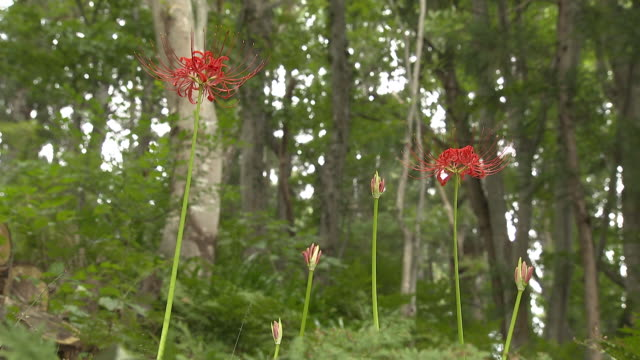 red spider lilies (lycoris radiata) - yamagata prefecture stock videos & royalty-free footage
