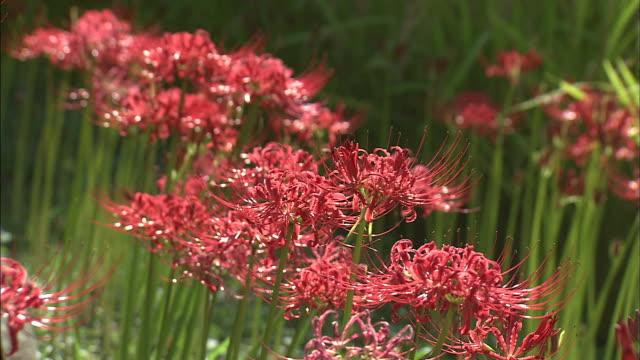 vídeos y material grabado en eventos de stock de red spider lilies   ms - hymenocallis caribaea