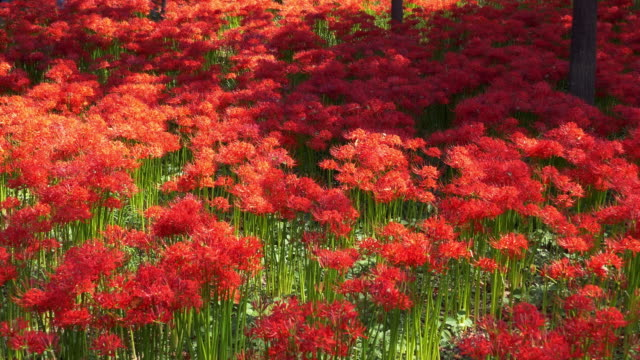 red spider lily garden in dolly motion - spider lily stock videos and b-roll footage
