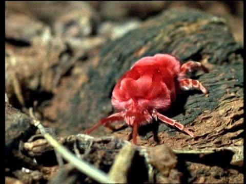 cu red spider mite walking along bark - invertebrate stock videos & royalty-free footage