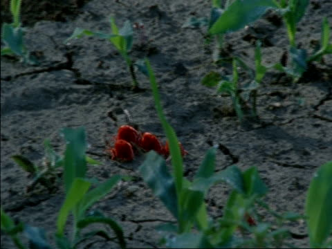 red spider mites crawling on ground, botswana, africa - arachnid stock videos & royalty-free footage