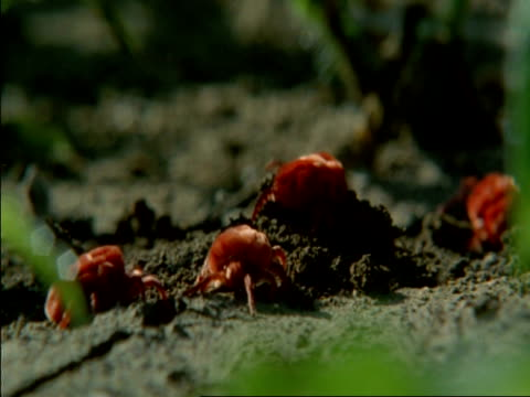 cu red spider mites digging into ground, botswana, africa - arachnid stock videos & royalty-free footage