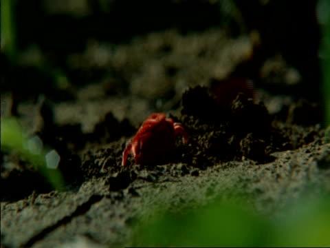cu red spider mites digging into ground, moving around, botswana, africa - arachnid stock videos & royalty-free footage