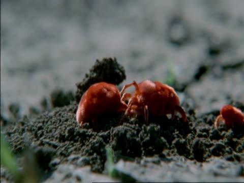 cu red spider mites moving around, botswana, africa - arachnid stock videos & royalty-free footage