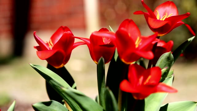 red spring tulips - perennial stock videos & royalty-free footage