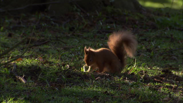red squirrel (sciurus vulgaris) buries food in park, scotland, uk - digging stock-videos und b-roll-filmmaterial