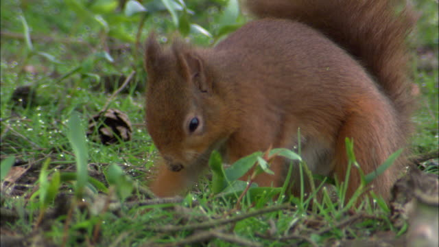 red squirrel (sciurus vulgaris) buries hazel nut in park, scotland, uk - digging stock-videos und b-roll-filmmaterial