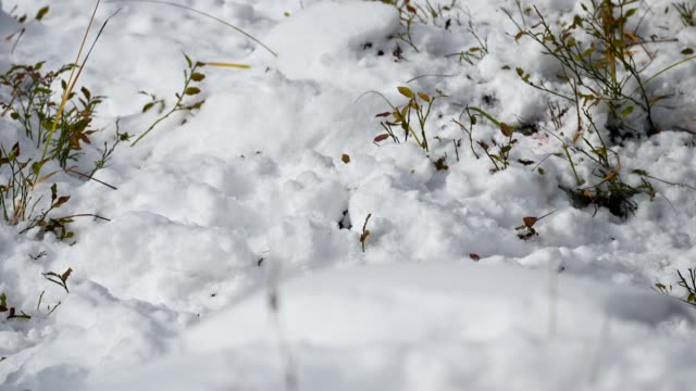 vídeos de stock e filmes b-roll de red squirrel burrowing pile snow with gnawing food - roedor