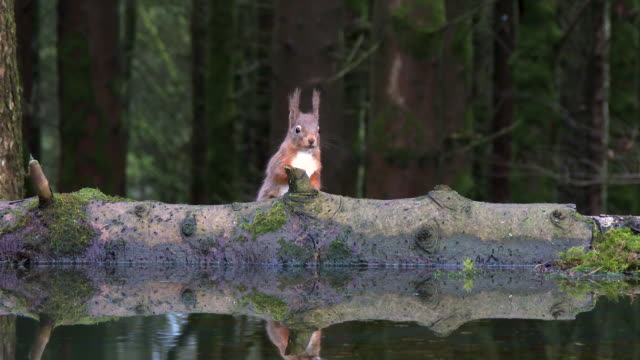 red squirrel drinking from a pool of standing water - woodland stock videos & royalty-free footage