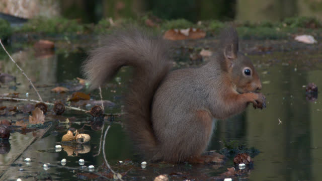 red squirrel eating bird food and spitting it out in scottish woodland - johnfscott stock videos & royalty-free footage