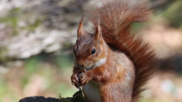 ms red squirrel eating hazelnut / vieux pont en auge, normandy, france - squirrel stock videos and b-roll footage