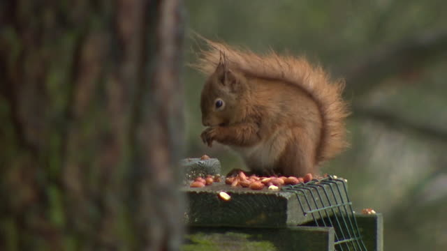 Red squirrel eating peanuts from feed table in Carnie Park forest in Aberdeenshire