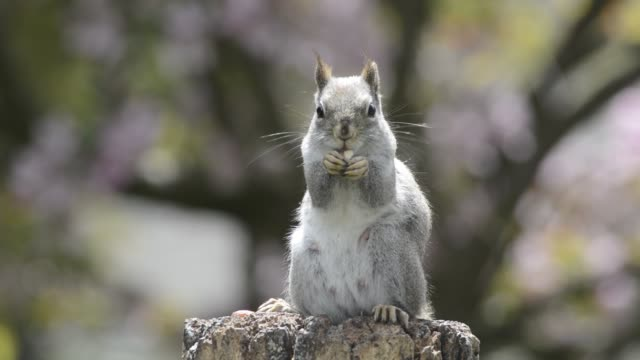 red squirrel eating - squirrel stock videos and b-roll footage