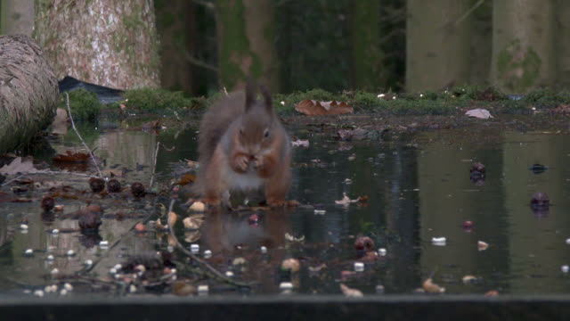 red squirrel feeding in scottish woodland - johnfscott stock videos & royalty-free footage