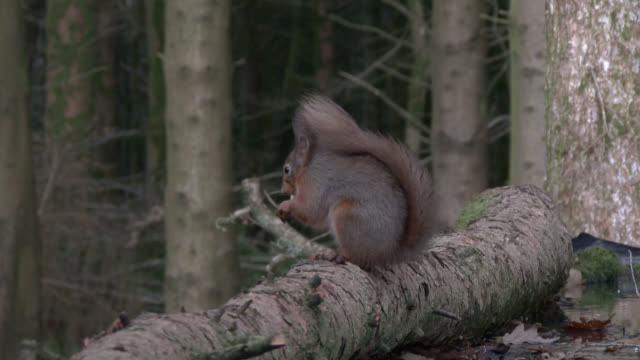 Red squirrel feeding in Scottish woodland