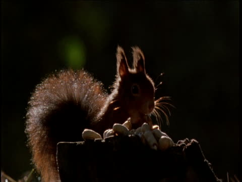 red squirrel feeds on peanuts - squirrel stock videos and b-roll footage