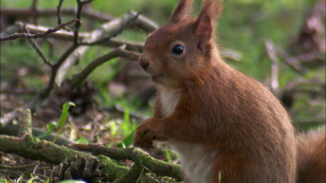 red squirrel (sciurus vulgaris) forages in park, scotland, uk - pigna strobilo video stock e b–roll