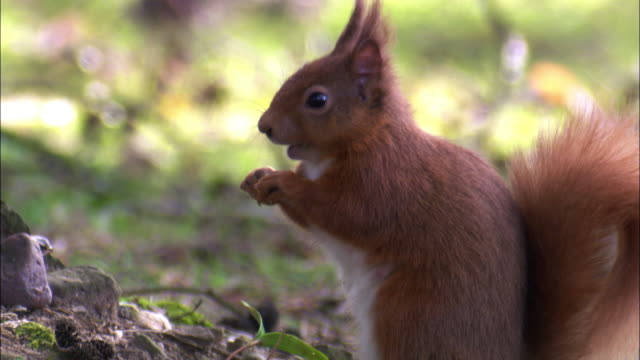 Red squirrel (Sciurus vulgaris) forages in park, Scotland, UK
