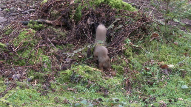 red squirrel frantically looking for food on the ground in an open area of scottish woodland - johnfscott stock videos & royalty-free footage