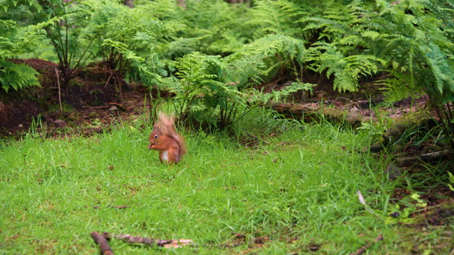 red squirrel in it's natural woodland environment - rodent stock videos & royalty-free footage