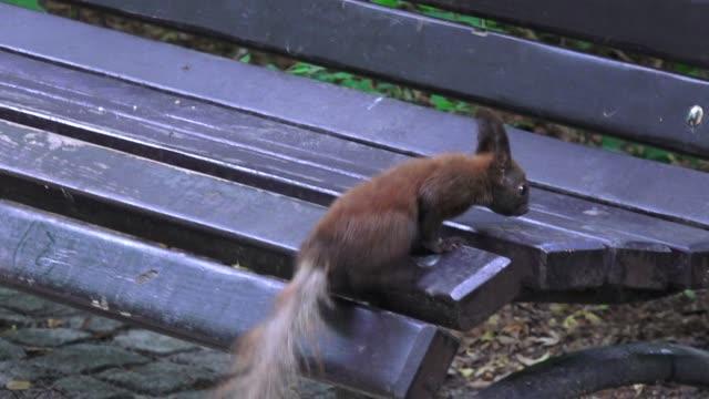 vidéos et rushes de écureuil sautant partout sur le banc dans le parc - banc