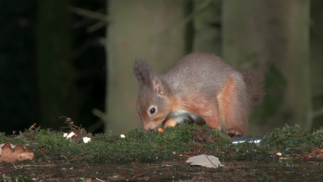 red squirrel looking for food in scottish woodland - roditore video stock e b–roll