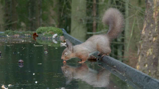 red squirrel looking for food in scottish woodland - johnfscott stock videos & royalty-free footage