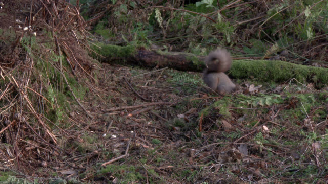 Red squirrel looking for food in Scottish woodland