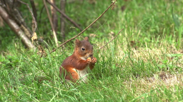 'Red Squirrel, sciurus vulgaris, Adult Eating, Auvergne in France, Real Time'
