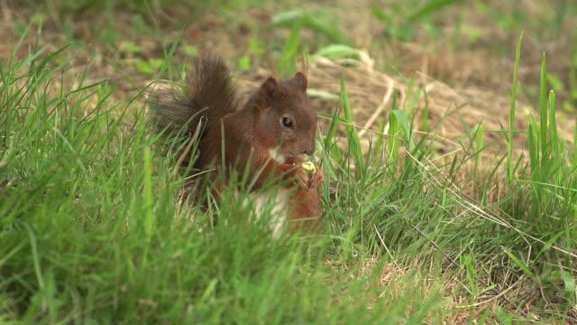"""Red Squirrel, sciurus vulgaris, Adult Eating, Auvergne in France, Real Time"""