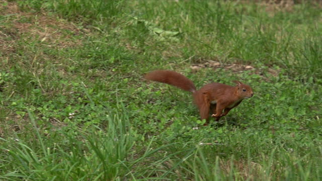 'Red Squirrel, sciurus vulgaris, Adult Running and Jumping, Auvergne in France, Slow Motion'