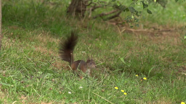 'Red Squirrel, sciurus vulgaris, Adults Running and Jumping, Auvergne in France, Slow Motion'