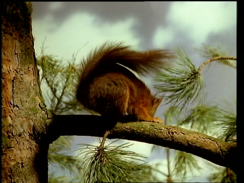 MCU Red squirrel, Sciurus vulgaris, on branch, eating