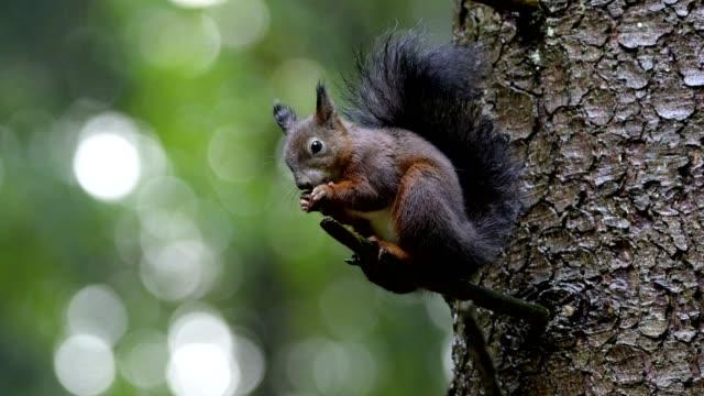 red squirrel, sciurus vulgaris, sitting on tree - spruce stock videos & royalty-free footage
